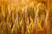 Wheat field in end of day — Stock Photo