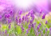 Beautiful lavender bathed in sunlight — Fotografia Stock