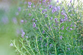 Rosemary and lavender as background in my garden — Foto de Stock