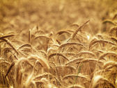 Wheat field - time for harvest — Stock Photo