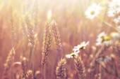 Beautiful wheat field and blured daisy flower — Stock Photo