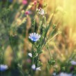 Beautiful blue meadow flowers — Stock Photo #78654364