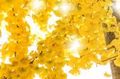 Ginkgo leaves in autumn — Stock Photo
