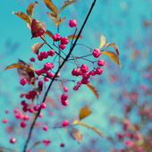 Bright pink juicy berries on a branch against the blue sky — Stock Photo