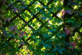 Trellis work and green leaves of Virginia creeper — Stock Photo