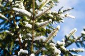 Snow covered Christmas tree — Stock Photo