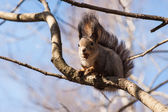 Squirrel animal with a hazelnut in its mouth sits on a tree bran — Stock Photo