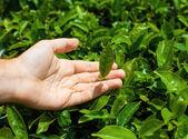 Tea leaves in human hand — Stock Photo