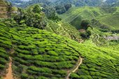 Cameron Highlands Tea plantation — Stock Photo