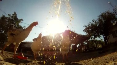Chickens receiving grains — Stock Video