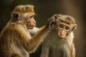 Monkey in SriLanka — Stockfoto