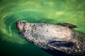 Relaxed seal — Stockfoto