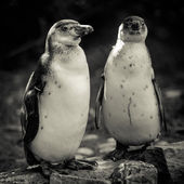 Humboldt penguins — Stockfoto