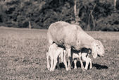 Little lambs with mother - black and white photo — Stockfoto