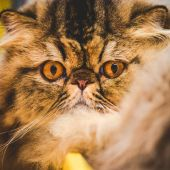 Persian cat snout — Stock Photo