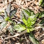 Cultivated chili - capsicum annuum — Stock Photo #74296709