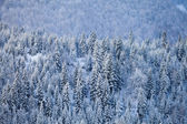 Snow fir forest on mountain slope — Stock Photo