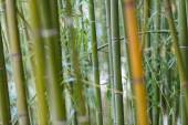 Bamboo close-up with bokeh — Stock Photo