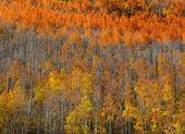 Carpet of Aspen trees — Stock Photo
