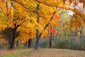 Bright yellow trees in autumn time — Stock Photo