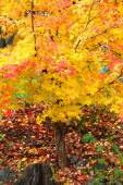 Bright color autumn tree — Stock Photo