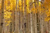 Aspen tree background — Stock Photo