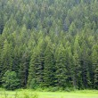 Pine tree forest — Stock Photo #59457053