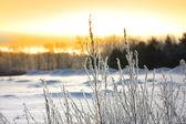 Icy plants — Stock Photo