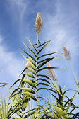 High reed — Stock Photo