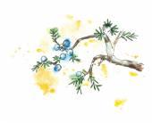 Branch of juniper tree, vector illustration — Vecteur
