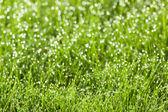 Gräs med daggdroppar — Stockfoto