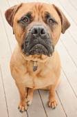 Sad Bull Mastiff Dog — Stock Photo