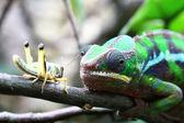 Chameleon and a grasshopper — Stock Photo