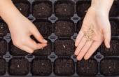 Child hands spreading seeds into germination tray — Stock Photo