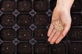 Hand spreading seeds into germination tray — Stock Photo