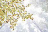 Buk drzewo gałąź — Zdjęcie stockowe