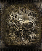 Vintage Kudu image. — Stock Photo