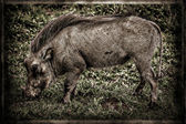 Abstract warthog. — Stock Photo