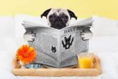 Pug dog newspaper — Stok fotoğraf