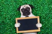 Cool pug dog — Stock Photo