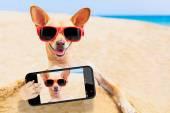 Chihuahua dog selfie — 图库照片