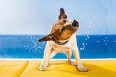 Hund schütteln — Stockfoto