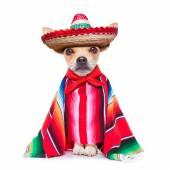 Maxican chihuahua — Zdjęcie stockowe