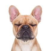 Fulvo de bulldog francês — Fotografia Stock