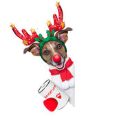 Reindeer dog — Stock Photo
