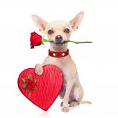 Chien de saint-valentin — Photo