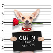 Valentines  mugshot dog — Stock Photo
