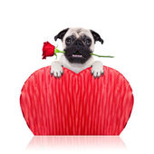 Valentines dog — Stock Photo