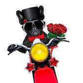 Valentines groom dog — Stock Photo