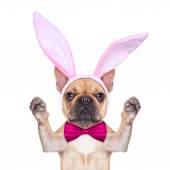 Bunny easter ears dog  — Stock Photo